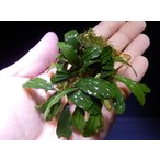 ブセファランドラ Bucephalandra sp. Red Pearl