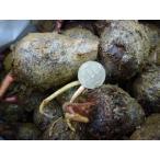 ★種芋★里芋★ 赤芋 1kg