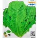 ★野菜苗★リーフレタス★ チマ・サンチュ(緑) 1鉢