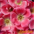 ★バラ苗★F★ ピンク ノック アウト ◎非常に花付きが良く、春から初冬まで咲き続けます♪ 新苗 京成