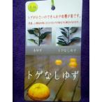 ★果樹苗★柑橘★ オロブランコ(スィーティー) 5号 1鉢