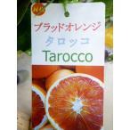 ★果樹苗★柑橘★ ブラッドオレンジ タロッコ 5号 1鉢