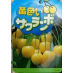 ★果樹苗★サクランボ★ 黄玉 5号 1鉢