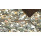 シラスウナギ(日本ウナギ稚魚)3匹セット