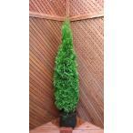 コニファー エメラルドグリーン140cm(コニファー 庭木 植木 常緑樹 シンボルツリー クリスマスツリー)