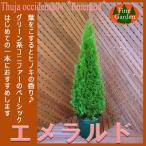 コニファー エメラルド80cm(コニファー,庭木,植木,常緑樹,シンボルツリー,クリスマスツリー)