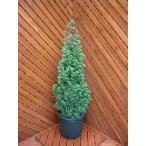 コニファー パープルフェザー80cm(コニファー,庭木,植木,常緑樹,シンボルツリー,クリスマスツリー)