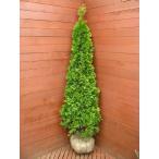 コニファー エメラルドグリーン170cm(コニファー,クリスマスツリー)