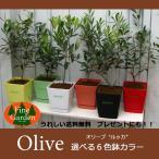 """送料無料!!オリーブ """"ルッカ""""選べる6色鉢カラー(常緑樹、シンボルツリー、観葉植物,オリーブ,オリーブ鉢植え,オリーブ植木,オリーブの木)"""