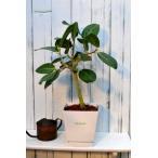 送料無料!!フィカス ベンガレンシス 白い鉢入り (観葉植物,鉢植え,ベンガルゴム)
