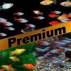 (熱帯魚)プレミアムセット ネオンテトラ SMサイズ 約1.5-2cm 50匹 + ミックスプラティ 約3-3.5cm 15匹