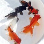 (金魚)ミックス出目金 約3cm 5匹