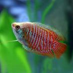 (スーパーセール)(熱帯魚 生体)ドワーフグラミー (約4cm)(1ペア)