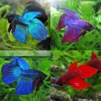 (スーパーセール)(熱帯魚 生体)ベタ トラディショナル オス 色おまかせ(約5cm)(1匹)