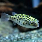 (スーパーセール)(熱帯魚 生体)ミドリフグ(約2-3cm)(5匹)