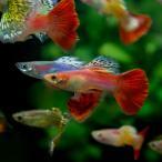 (スーパーセール)(熱帯魚 生体)ミックスグッピー (外国産)(約3cm)(10ペア)
