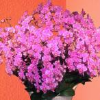産地直送の花ギフト ミディ胡蝶蘭 蘭千世界20本立ち 13号陶器鉢 椎名洋ラン園の胡蝶蘭