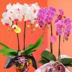 産地直送の花ギフト ミディ胡蝶蘭 2本立ち 風呂敷包み 4号 陶器鉢入り 椎名洋ラン園の胡蝶蘭