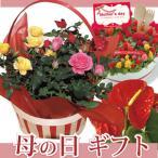 ショッピングバラ 早割実施中 2017母の日ギフト 選べる花鉢 ケイトウ アンスリウム バラ
