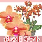 午前中だけほのかに香る甘い香り オレンジ色のミディ胡蝶蘭