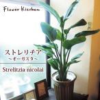 ストレリチア 7号鉢 オーガスタ ニコライ カゴ付き