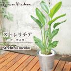 ストレリチア 7号鉢 オーガスタ+ソッケル シルバー 鉢カバー付き  即日発送のグリーンギフト
