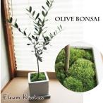 観葉植物 盆栽 和モダンなオリーブBONSAI オリーブの木 即日発送のグリーンギフト