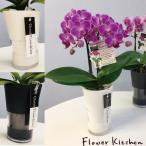 胡蝶蘭 産地直送の花ギフト テーブル胡蝶蘭 タンブラスリム 2本立ち 3号鉢 椎名洋ラン園の胡蝶蘭 育てやすい 花鉢
