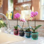胡蝶蘭 産地直送の花ギフト マイクロ胡蝶蘭アクアポット2.5号 椎名洋ラン園の胡蝶蘭 育てやすい 花鉢