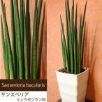 観葉植物で空気清浄 手間がかからず育てやすい サンスベリア