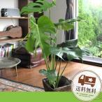 モンステラ 鉢植え 観葉植物 即日発送のインテリアグリーン ギフト 引っ越し祝い 新築祝い