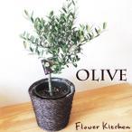 観葉植物 オリーブ5号 玉仕立て ミニかご付き