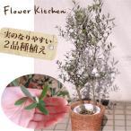 ショッピング木 観葉植物 オリーブの木 7号 2品種植え かご付き