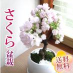 和盆栽シリーズ 京都産 一才桜 の鉢物 旭山桜 選べる白砂利 or 茶砂利