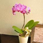 産地直送の花ギフト テーブル胡蝶蘭 ギフトボックス入り 椎名洋ラン園こだわりの高級胡蝶蘭