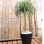 トックリラン単品 ポニーテール 鉢植え おしゃれな観葉植物