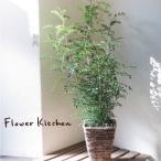 シマトネリコ 鉢植え 観葉植物 即日発送のインテリアグリーン