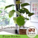 ウンベラータ 鉢植え 観葉植物 即日発送のグリーンギフト