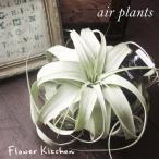 エアプランツ キセログラフィカ Lサイズ チランジア  観葉植物