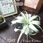 エアプランツ キセログラフィカ Sサイズ チランジア  観葉植物