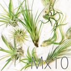 エアプランツ アソート10個セット(Mサイズ)/ 観葉植物 チランジア エアープランツ