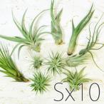 エアプランツ アソート10個セット(Sサイズ)/ 観葉植物 チランジア エアープランツ