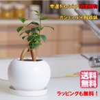 【 送料無料 】幸福を呼ぶ  ガジュマル ラウンド 陶器 鉢  風水 がじゅまる の樹 インテリア グリーン 観葉 植物