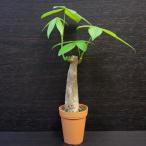 パキラ / 観葉植物2号ロング