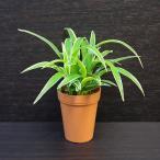 オリヅルラン / 観葉植物2号ロング