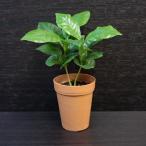 コーヒーノキ(コーヒーの木) / 観葉植物2号ロング