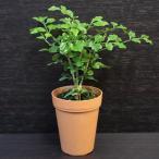 シマトネリコ / 観葉植物2号ロング