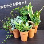 おまかせ観葉植物3個セット / 観葉植物2号ロング (鉢カバー3個付)