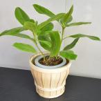 観葉植物 フィカスアルテシーマ(ゴムの木) 木製バスケット入