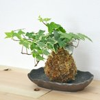 観葉植物苔玉 アイビー(ヘデラ) 陶器皿付き
